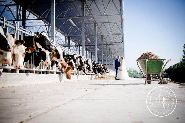 bruidspaar koeien
